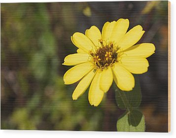 Golden Zinnia Wood Print by Photographic Arts And Design Studio