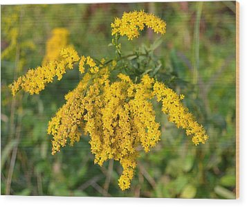 Wood Print featuring the photograph Goldenrod by Mary Zeman