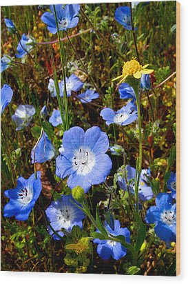 Goldfields And Baby Blue Eyes In Park Sierra-ca Wood Print by Ruth Hager