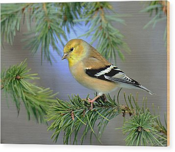 Goldfinch In A Fir Tree Wood Print by Rodney Campbell