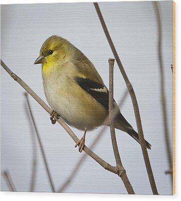 Wood Print featuring the photograph Goldfinch In It's Winter Coat by Ricky L Jones