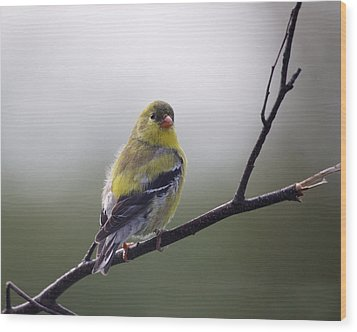 Wood Print featuring the photograph Goldfinch Molting To Breeding Colors by Susan Capuano