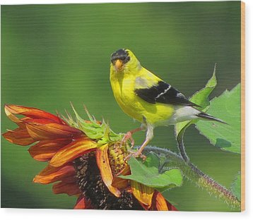 Wood Print featuring the photograph Goldfinch Pose by Dianne Cowen