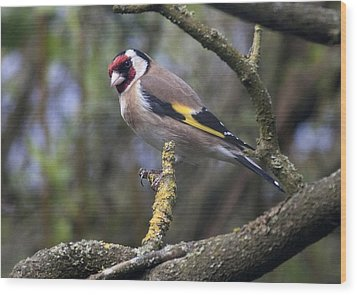 Goldfinch Wood Print by Richard Thomas