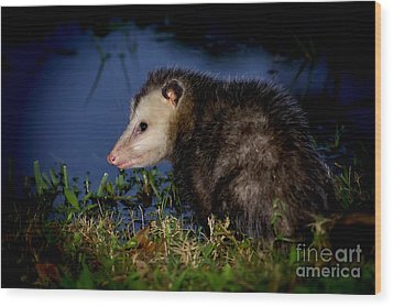 Wood Print featuring the photograph Good Night Possum by Olga Hamilton