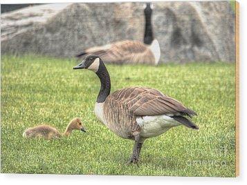 Goose And Gosling Afternoon Graze Wood Print by Deborah Smolinske