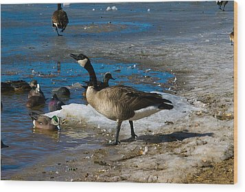 Goose Gazing Greater Wood Print by Matt Radcliffe