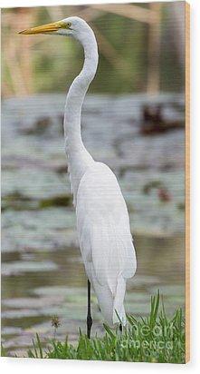 Gorgeous N Tall Great White Egret Wood Print by Sabrina L Ryan