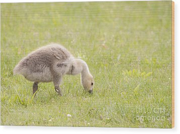 Wood Print featuring the photograph Gosling by Jeannette Hunt