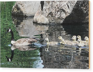 Goslings Reflection Wood Print
