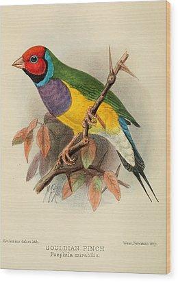 Gouldian Finch Wood Print by Rob Dreyer