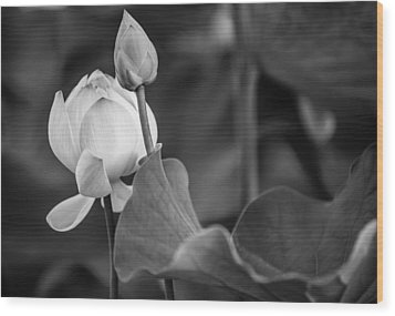 Graceful Lotus. Balck And White. Pamplemousses Botanical Garden. Mauritius Wood Print by Jenny Rainbow