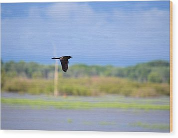 Grackle In Flight Wood Print by Bonfire Photography