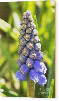 Grape Hyacinth Closeup Wood Print by Jane Rix