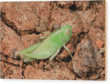 Grasshopper Aiolopus Strepens Nymph Wood Print by Nigel Downer