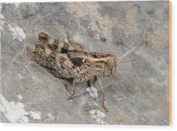 Grasshopper Calliptamus Barbarus Juvenile Wood Print