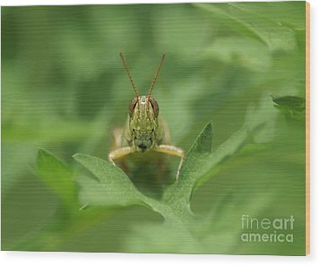 Wood Print featuring the photograph Grasshopper Portrait by Olga Hamilton