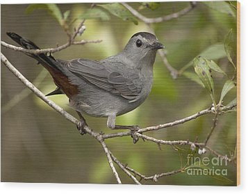 Wood Print featuring the photograph Gray Catbird by Meg Rousher