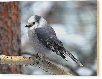Gray Jay On Aspen Wood Print