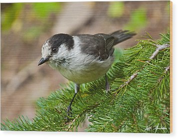 Gray Jay On Fir Tree Wood Print by Jeff Goulden