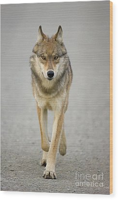 Gray Wolf Denali National Park Alaska Wood Print