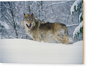 Gray Wolf In Snow, Montana, Usa Wood Print