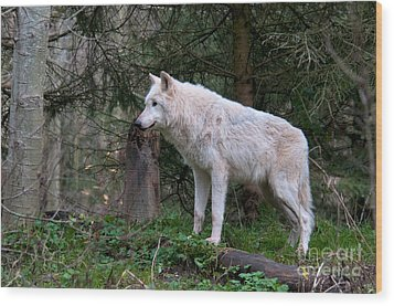 Gray Wolf White Morph Wood Print by Mark Newman