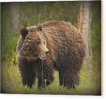 Grazing Grizzly Wood Print by Stephen Stookey