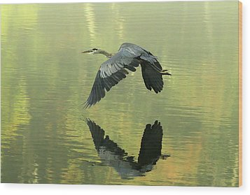 Great Blue Fly-by Wood Print by Douglas Stucky