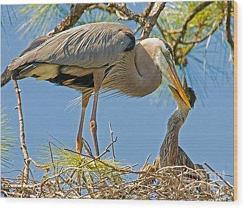 Great Blue Heron Adult Feeding Nestling Wood Print by Millard H. Sharp