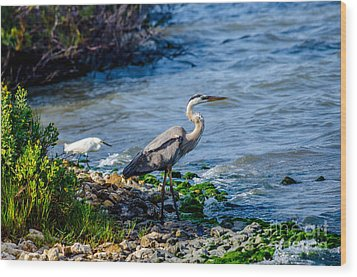 Great Blue Heron And Snowy Egret At Dinner Time Wood Print