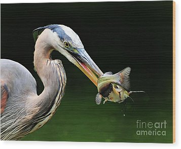 Great Blue Heron And The Catfish Wood Print