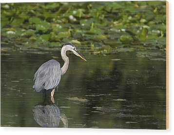 Great Blue Heron Hunting Wood Print by Larry Bohlin