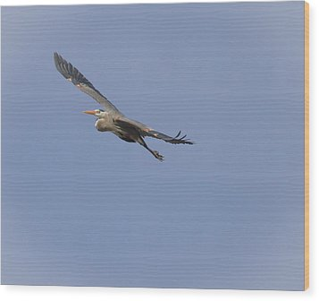 Great Blue Heron In Flight-2 Wood Print by Thomas Young