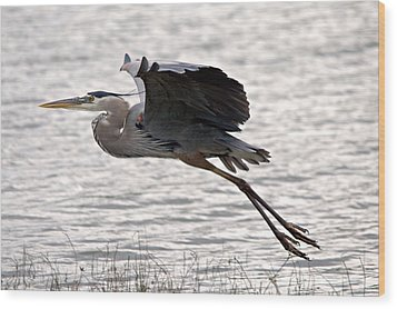 Great Blue Heron Landing Series 1 Wood Print