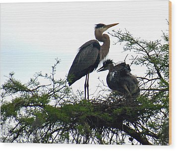 Great Blue Heron With Fledglings II Wood Print by Suzanne Gaff