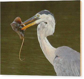 Great Blue Heron With Stingray Wood Print