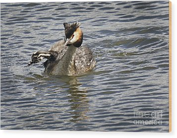 Great Crested Grebe Wood Print by Inge Riis McDonald