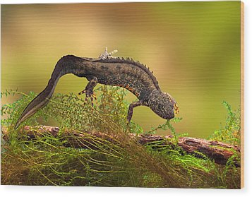 Great Crested New Or Water Dragon Wood Print by Dirk Ercken