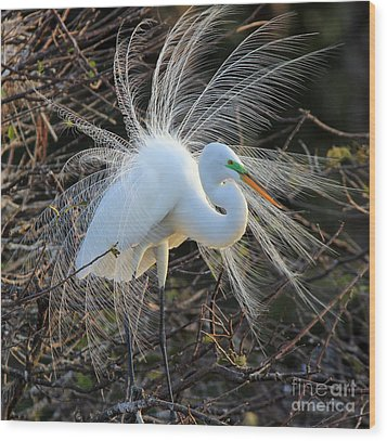Great Egret Show Off Wood Print by Larry Nieland