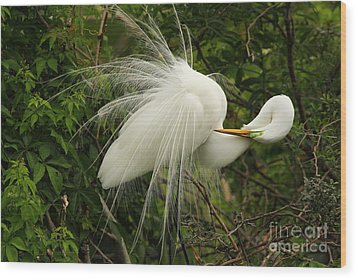 Great Egret Displaying Wood Print by Jennifer Zelik