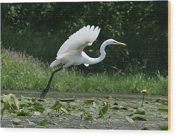 Great Egret Elegance   Wood Print