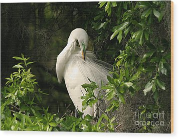 Great Egret Preen Wood Print by Jennifer Zelik