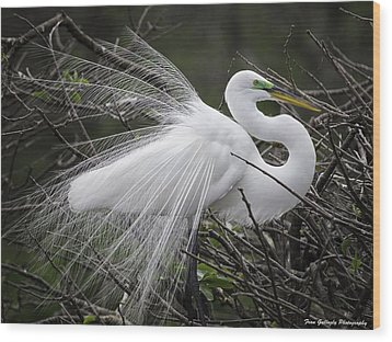 Great Egret Preening Wood Print