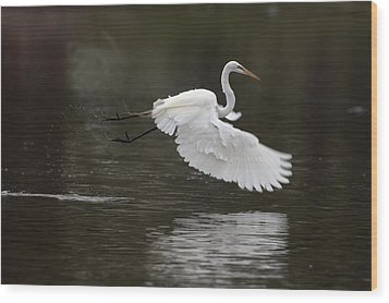 Great Egret Takeoff Wood Print by Gary Langley
