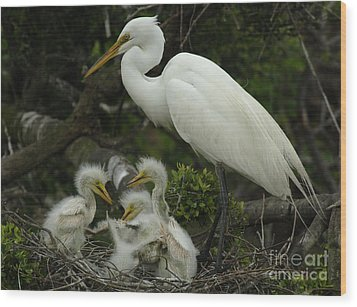 Great Egret With Young Wood Print by Bob Christopher