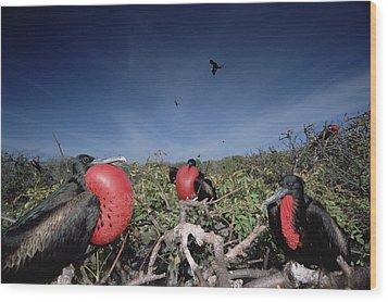 Great Frigatebird Males In Courtship Wood Print by Tui De Roy