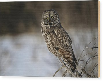 Great Gray Owl 2 Wood Print