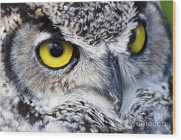 Great Horned Closeup Wood Print by Dee Cresswell