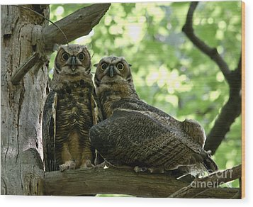Great Horned Owls Wood Print by Cheryl Baxter